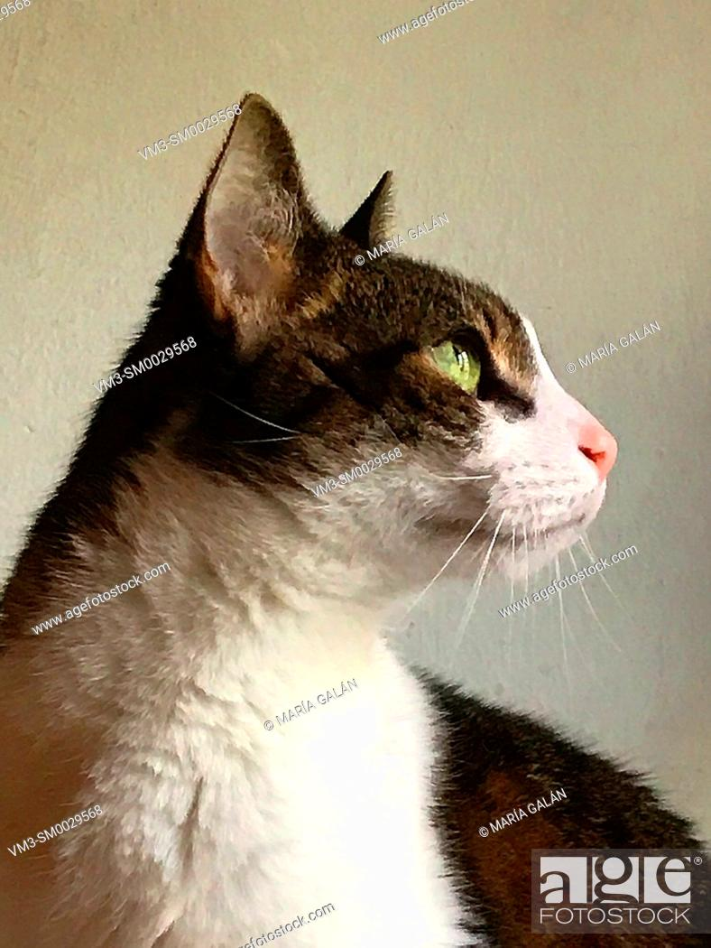 Stock Photo: Profile portrait of tabby and white cat.