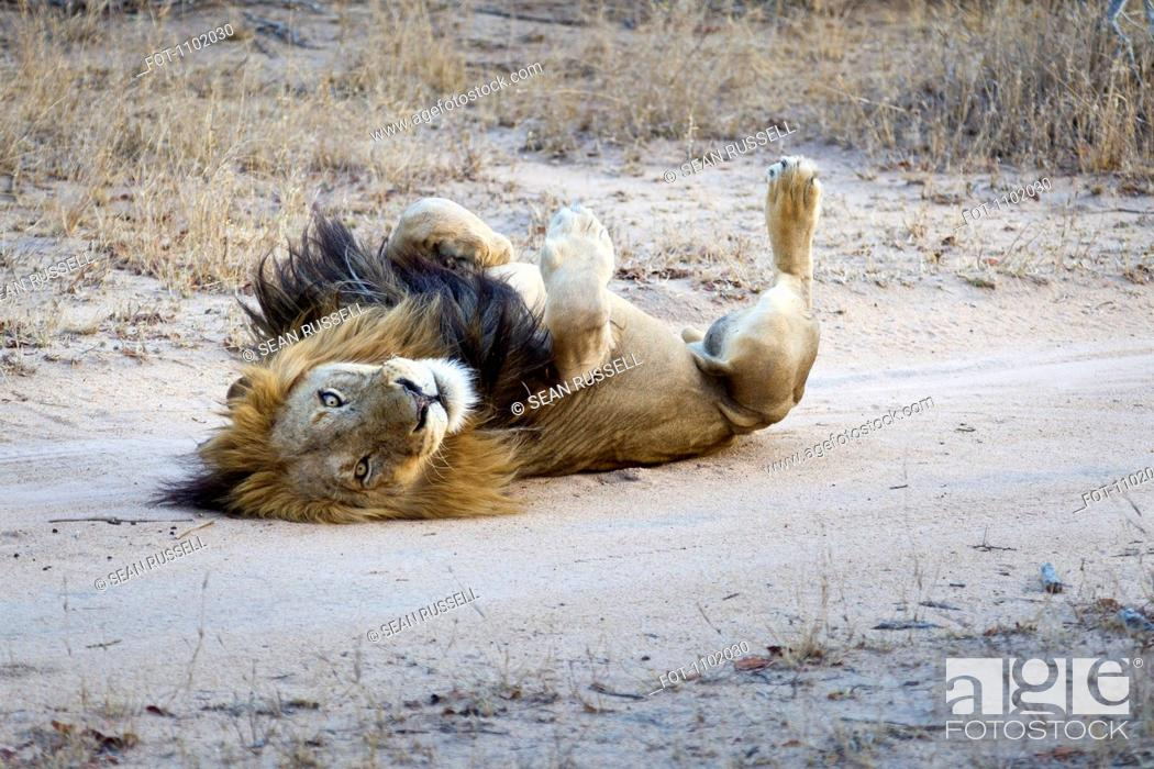 Stock Photo: A playful male lion lying on his back.