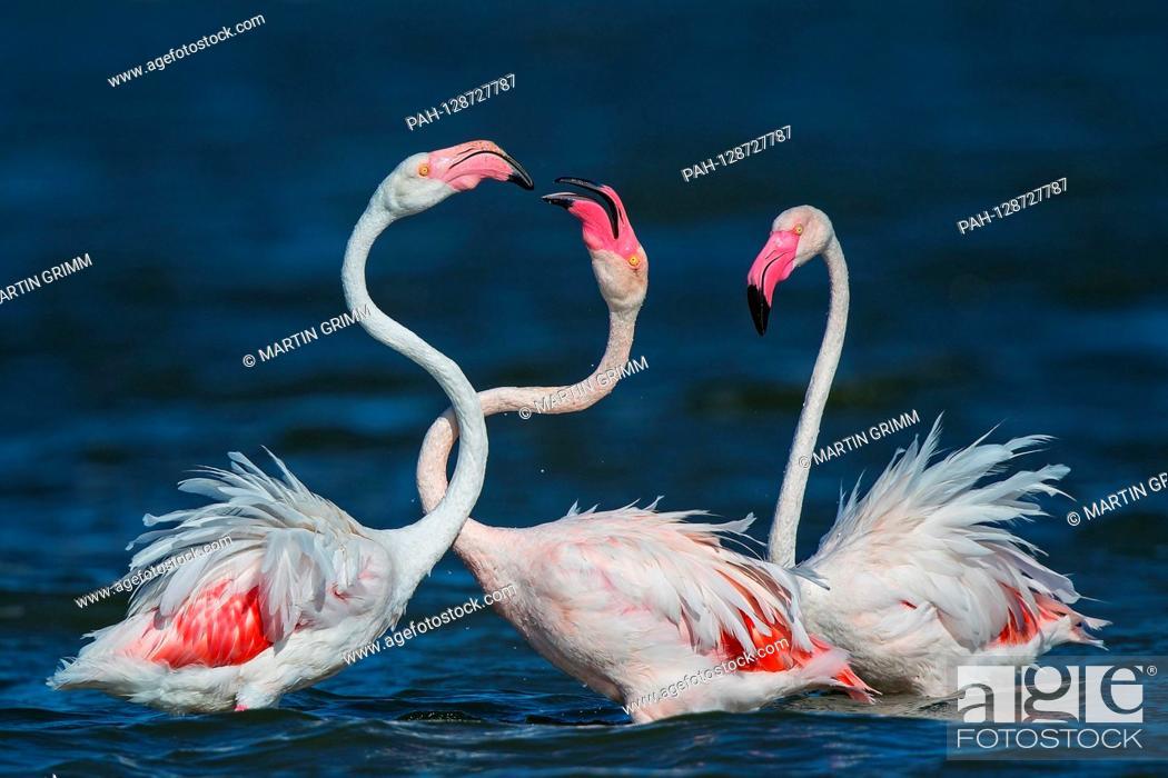 Stock Photo: Greater Flamingo (Phoenicopterus roseus) foraging in shallow water, Sardinia, Italy   usage worldwide. - /Sardinien/Italy.