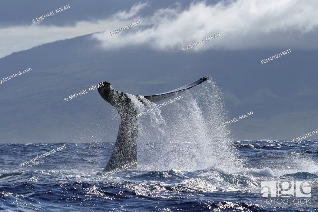 Stock Photo: Humpback Whale Megaptera novaeangliae Lob tailing Hawaii, North America.