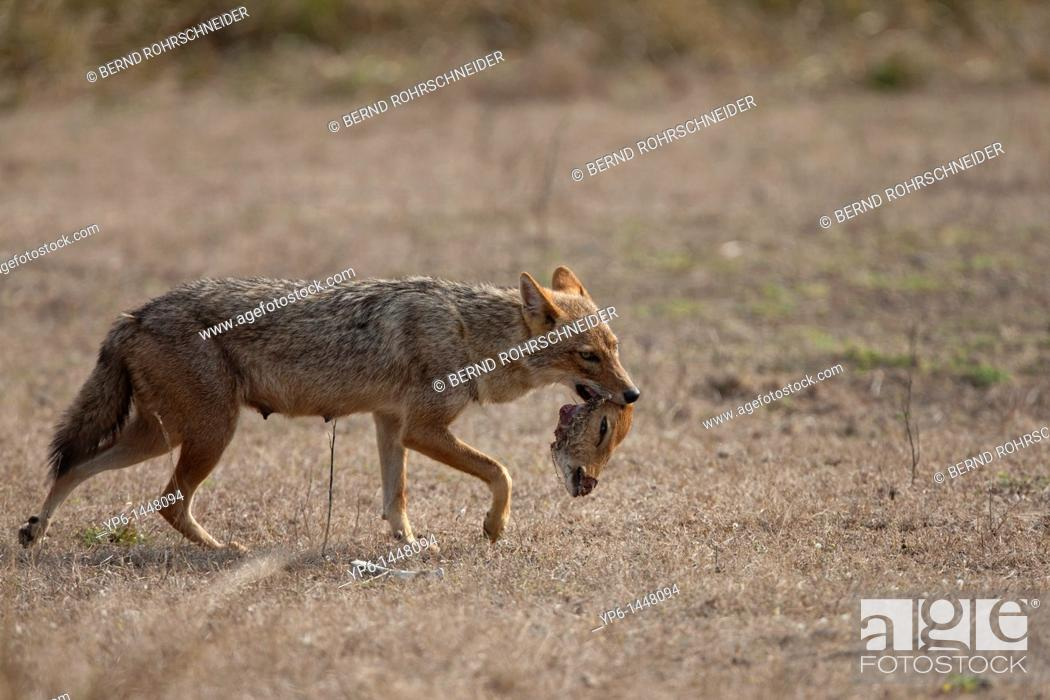 Stock Photo: Golden jackal Canis aureus carrying head of a dead Chital, Kanha National Park, Madhya Pradesh, India.