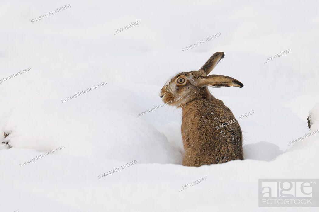 Stock Photo: European brown hare (Lepus europaeus) in winter, Germany, Europe.