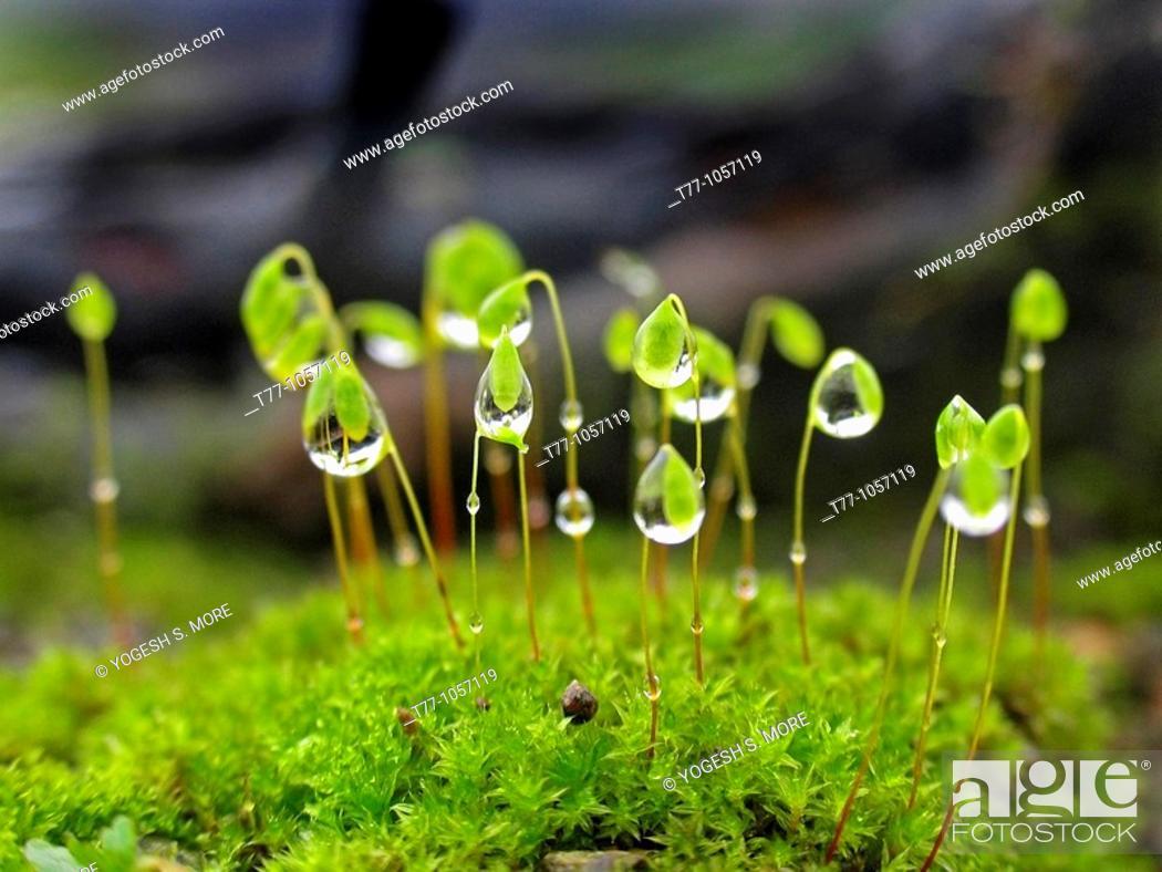 Stock Photo: Closeup of dewdrops on Moss Head, Bhimashankar, Maharashtra, India.