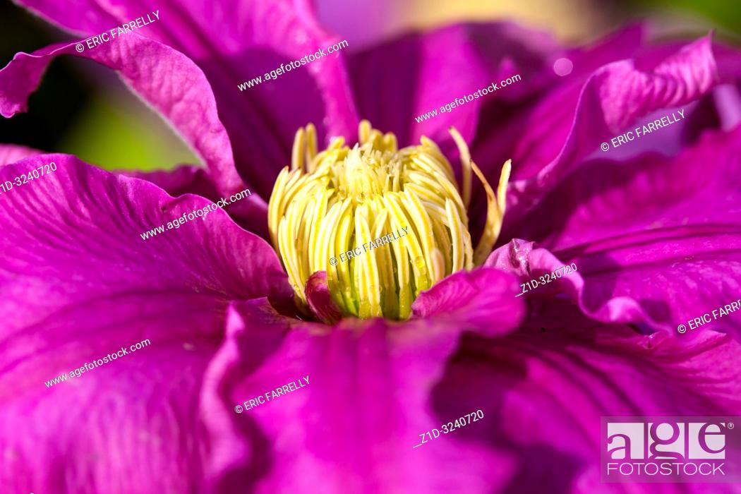 Stock Photo: Clematis plants for sale in Garden Centre Scotland UK.