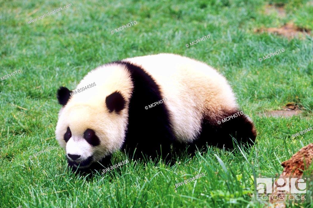Stock Photo: giant panda (Ailuropoda melanoleuca), eight months old panda in the resaerch station of Wolong, national animal of China, China, Sichuan, Wolong.