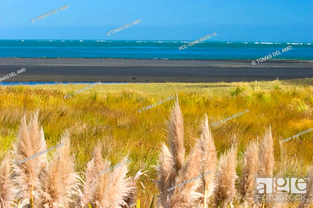 Stock Photo: New Zealand, Feathery white plant in the foreground of grassland, mudflats and ocean.