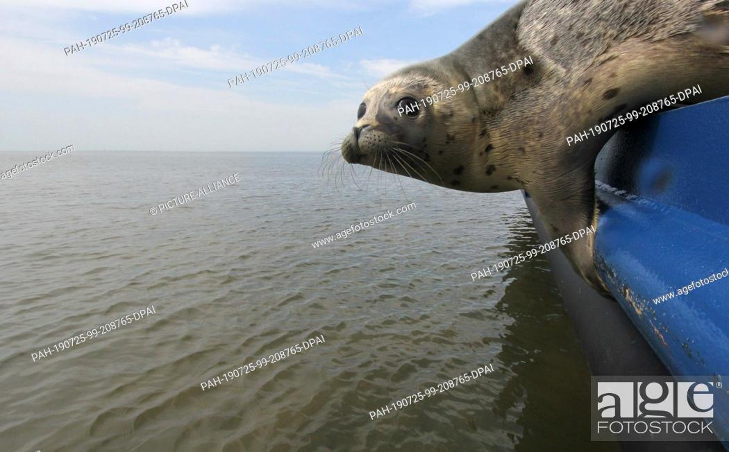 Imagen: 25 July 2019, Schleswig-Holstein, Friedrichskoog: A seal bends over the railing of a ship on the North Sea. The seal station Friedrichskoog poached the first.