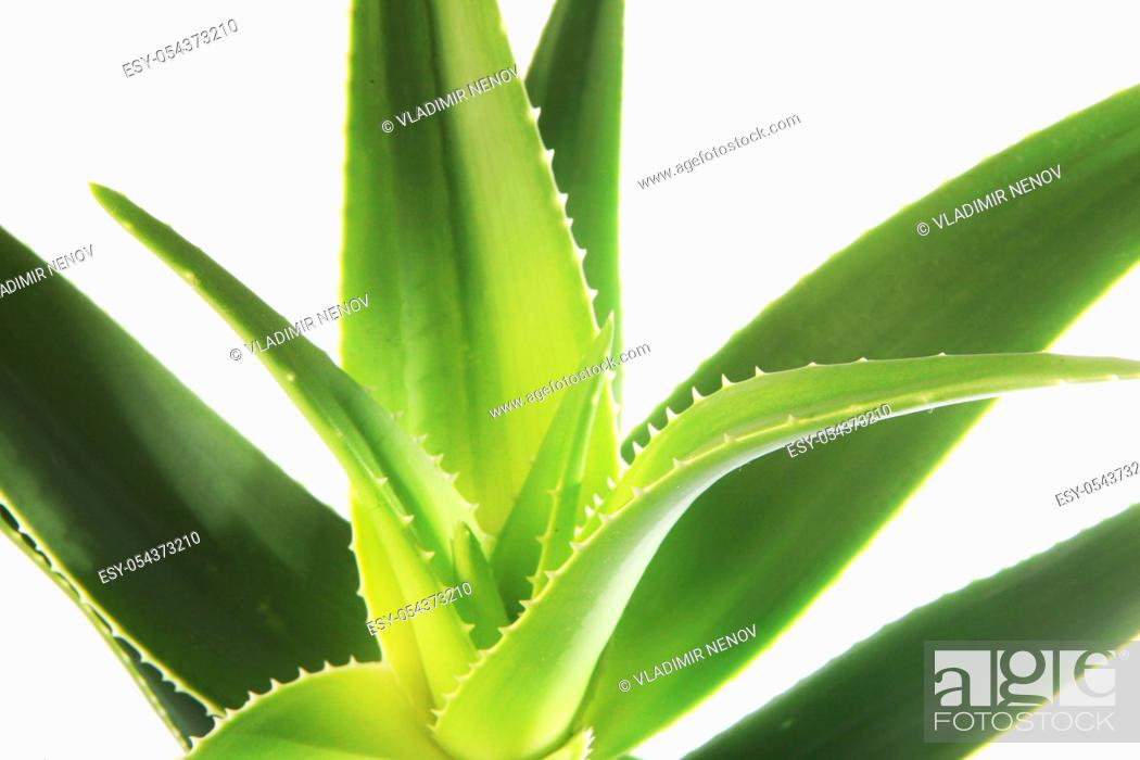 Stock Photo: Aloe vera plant isolated on white background. Aloe vera is a succulent plant species of the genus Aloe. It is cultivated for agricultural and medicinal uses.