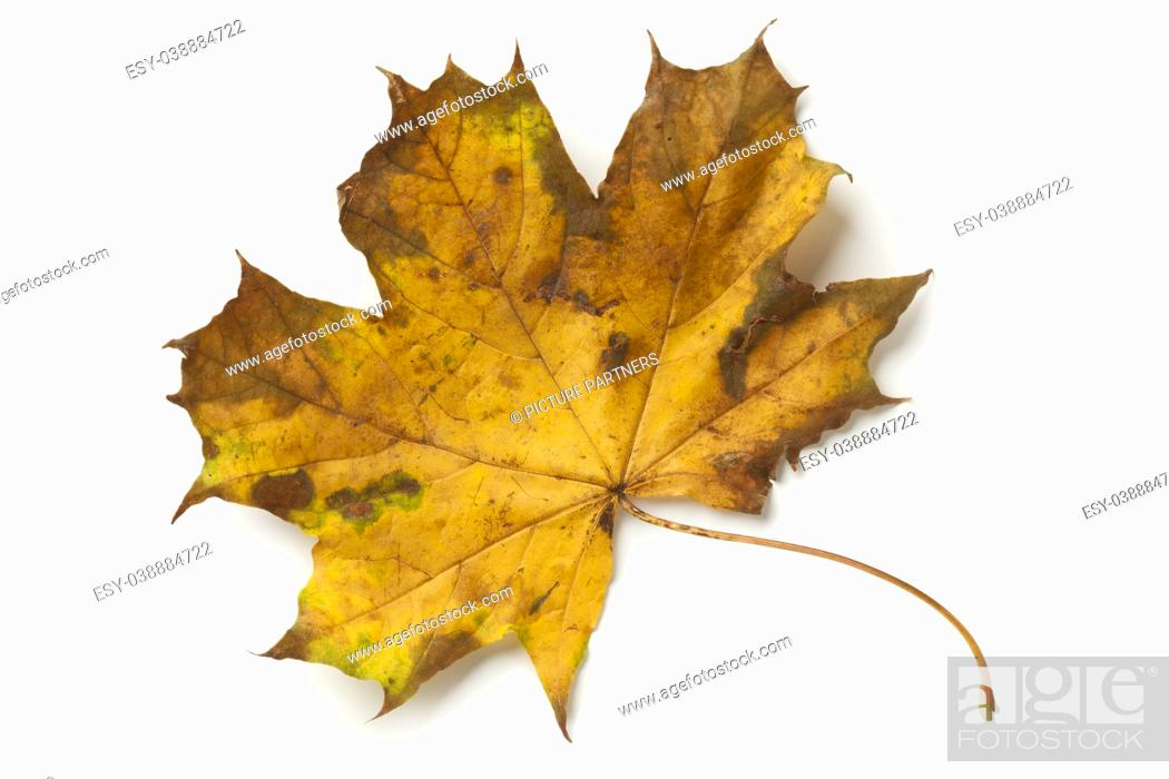 Stock Photo: Single maple tree leaf in autumn on white background.