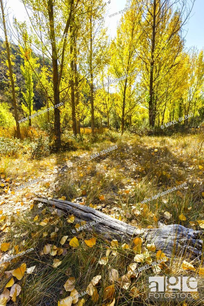 Stock Photo: Poplar grove in a gorge in autumn. Cañamares river. Guadalajara, Castilla-La Mancha, Spain, Europe.