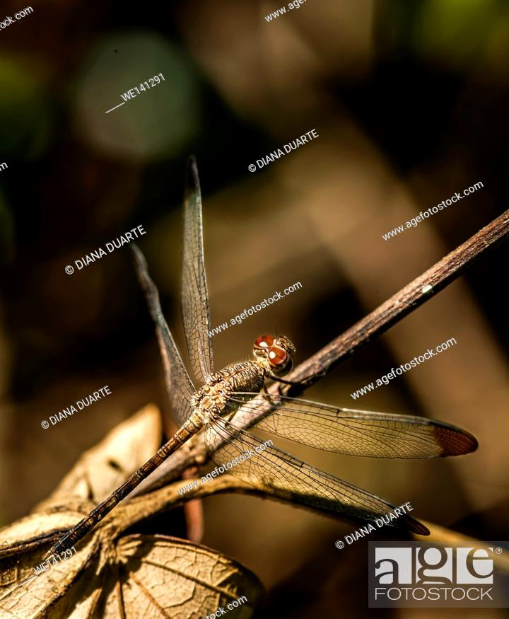 "Stock Photo: """"""""""Dragonfly""""( Anisoptera), As with other species of insect, the dragonfly also has six legs but it is unable to walk on solid ground."