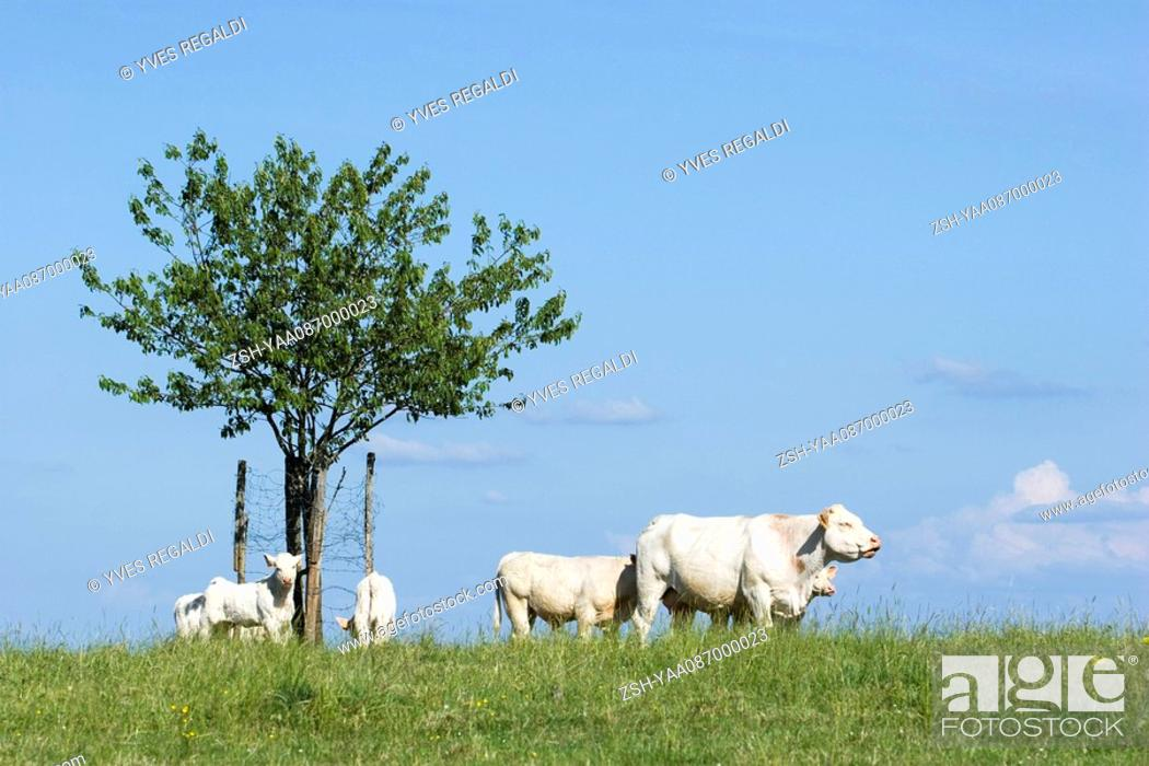 Stock Photo: White cattle in pasture.