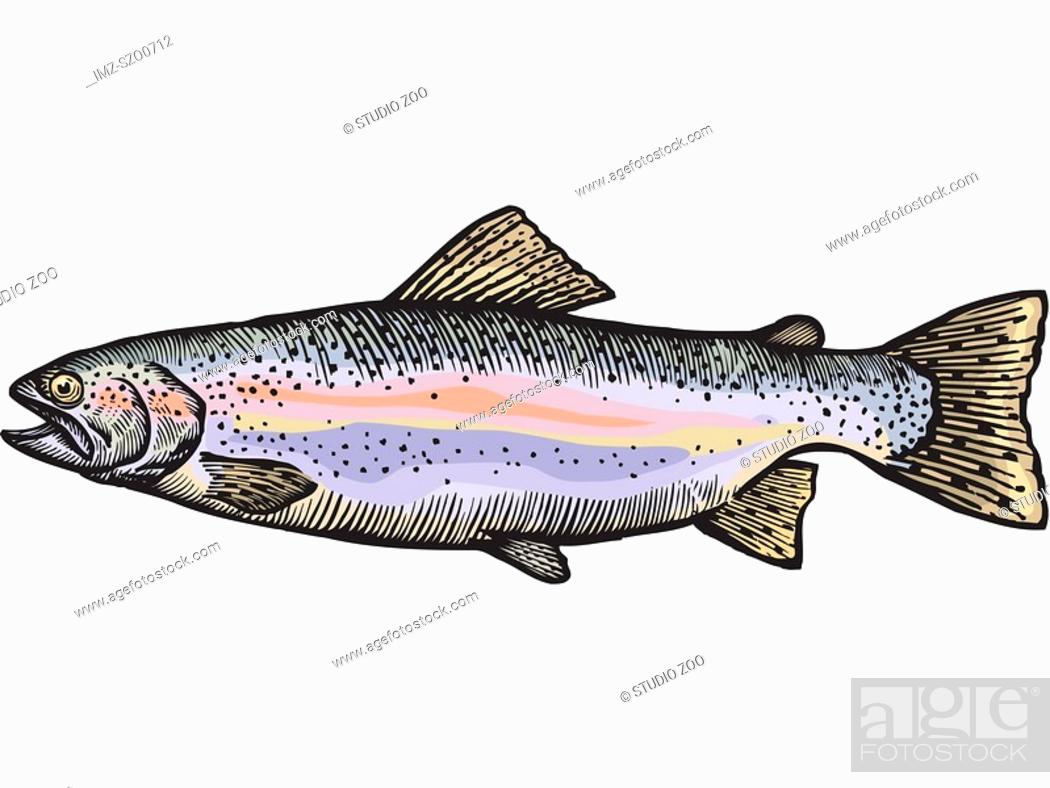 Stock Photo: A drawing of a rainbow trout.