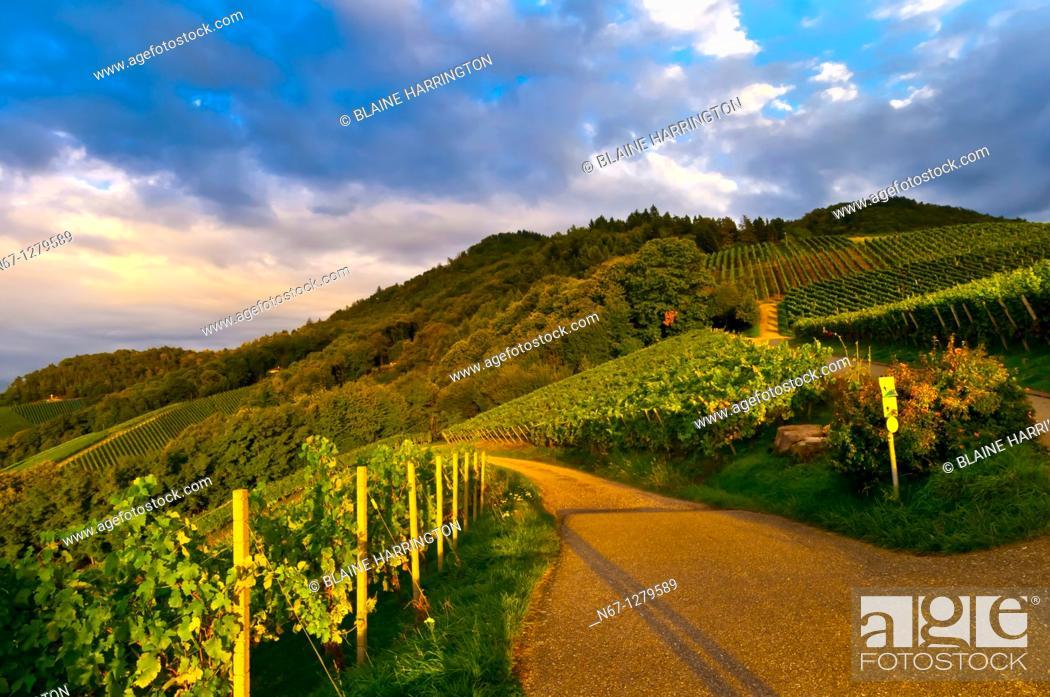 Stock Photo: Vineyards, Offenburg, Baden-Württemberg, Germany.