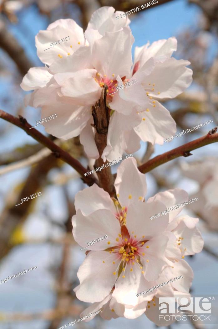 Stock Photo: Blossoming almond tree.
