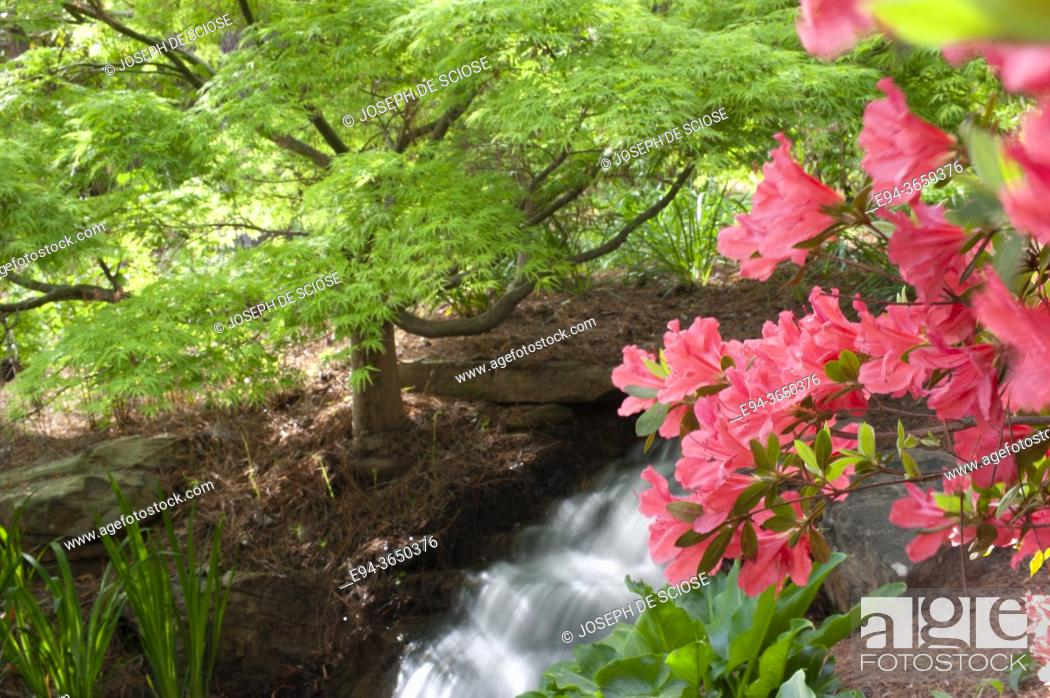 Photo de stock: Small waterfall in a garden setting in the springs with a Japanese maple and a pink azalea in bloom.