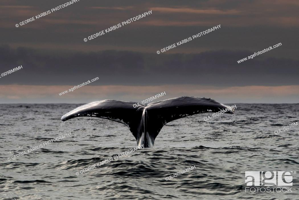 Stock Photo: Humpback whale diving, Skellig Islands, Dingle, Kerry, Ireland.