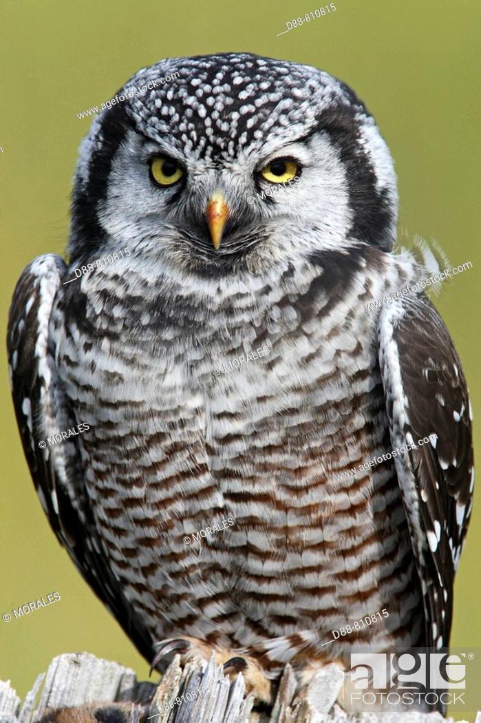 Stock Photo: Northern Hawk Owl (Surnia ulula). Seward Peninsula, Alaska, USA.