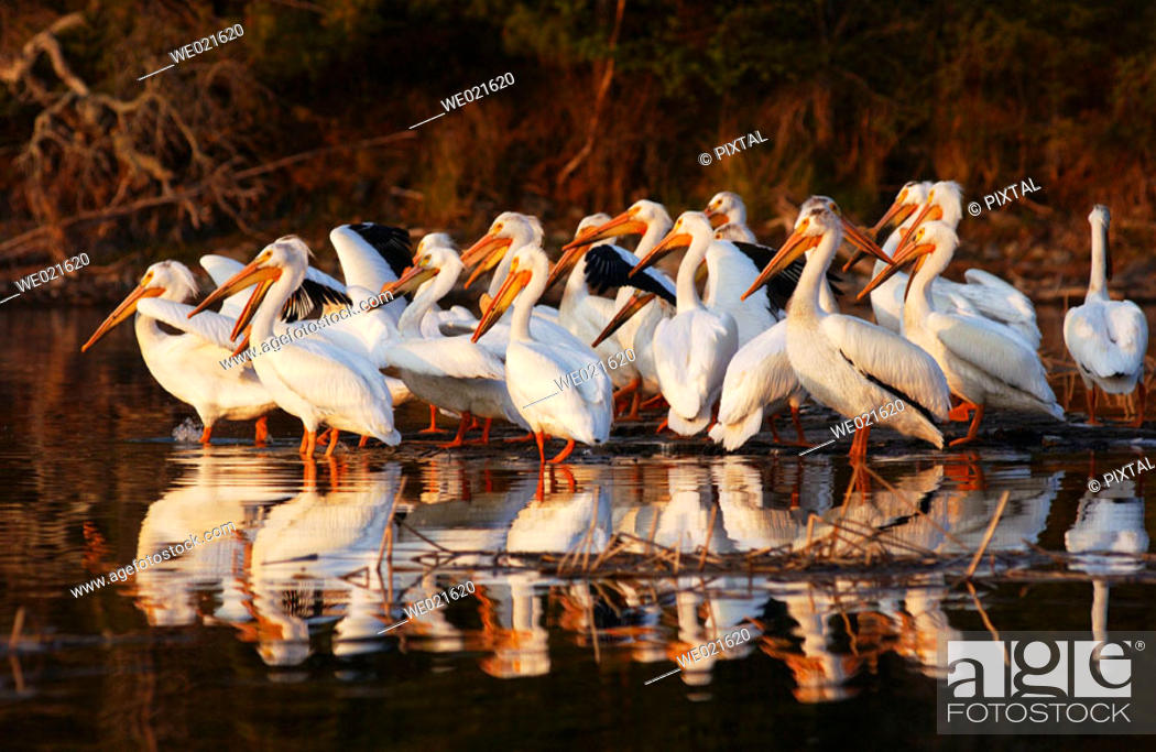 Stock Photo: Lake of the Woods - Pelicans.