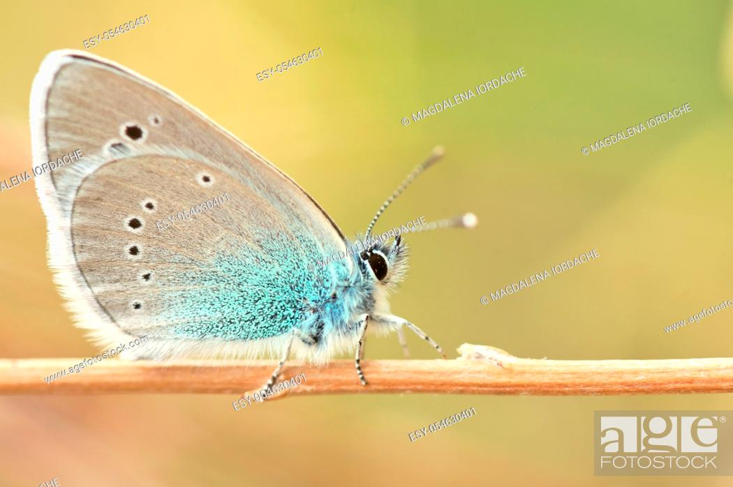 Stock Photo: Glaucopsyche alexis, green underside blue butterfly of the family Lycaenidae.