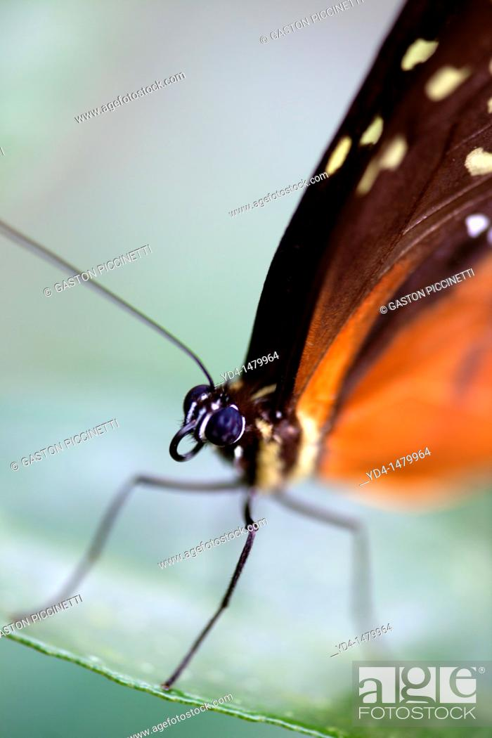Stock Photo: Longwing butterfly Heliconius hecale, Costa Rica.