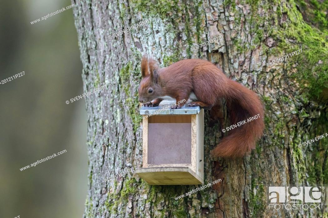 Imagen: Eurasian red squirrel (Sciurus vulgaris) eating nuts from squirrel feeder in tree in garden in winter.