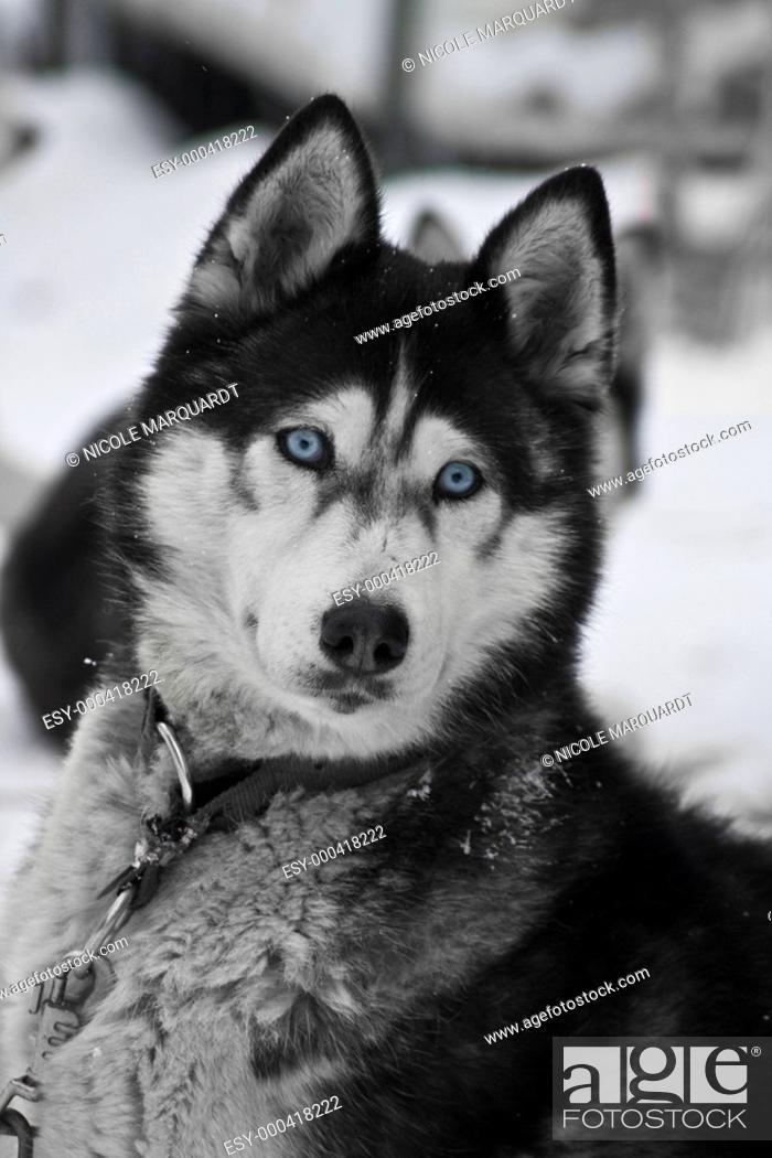 Stock Photo: Husky.