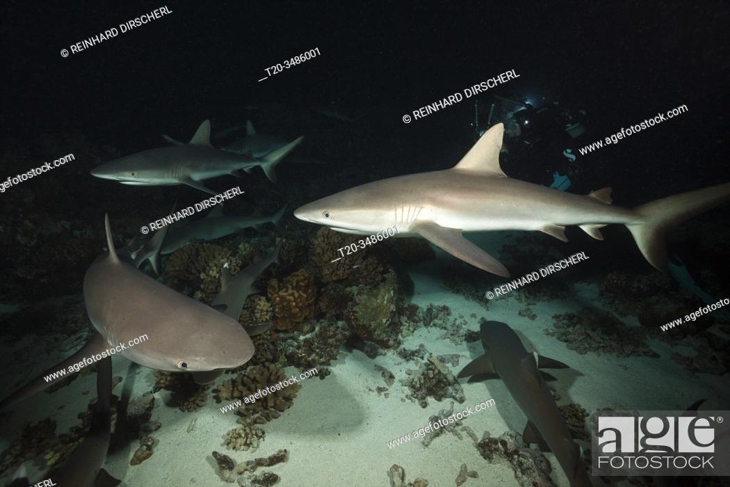 Stock Photo: Grey Reef Shark hunting at Night, Carcharhinus amblyrhynchos, Fakarava, Tuamotu Archipel, French Polynesia.