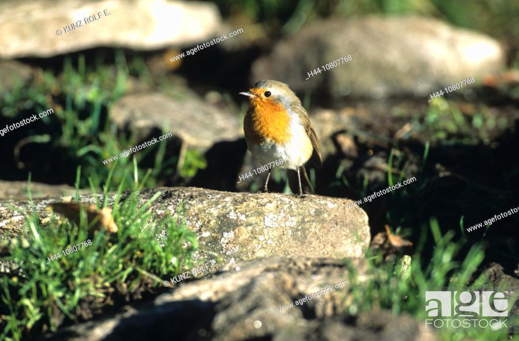 Stock Photo: Animal, Animals, Bird, Birds, Canton Ticino, Erithacus rubecula, European Robin, European Robins, Fauna, Nature, rob.