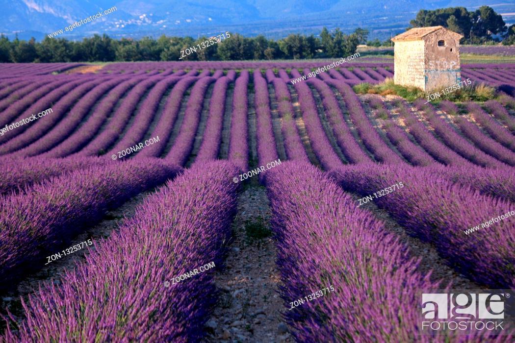 Stock Photo: Lavendelfeld, Plateau Valensole, Frankreich - Lavender field, Plateau Valensole, France.