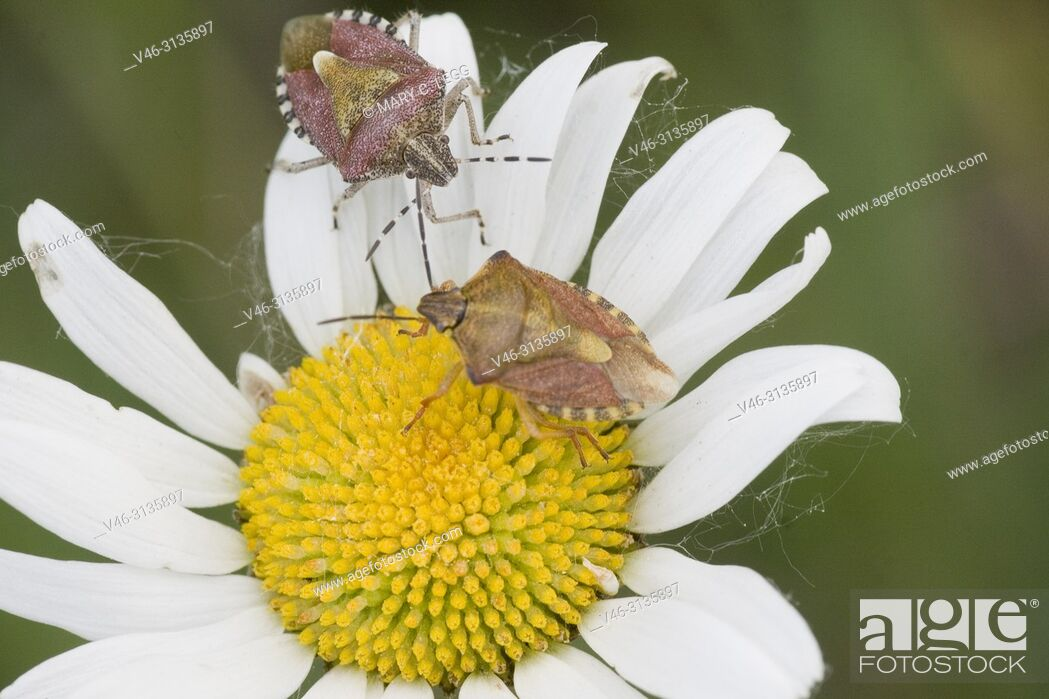 """Stock Photo: Sloe Bug, Dolycoris baccarum. Large shieldbug 10â. """"12. 5 length. Found on especially Rosaceae and Asteraceae, Feed on berry crops."""