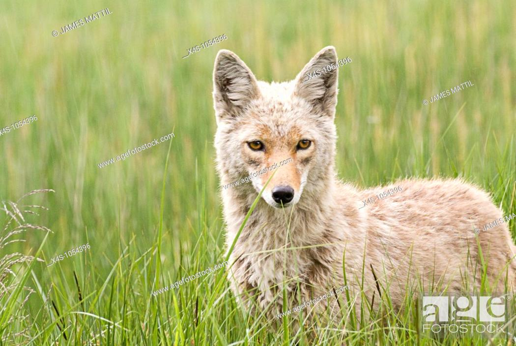 Stock Photo: Portrait of a coyote in a meadow of grass in Yellowstone National Park, Wyoming.