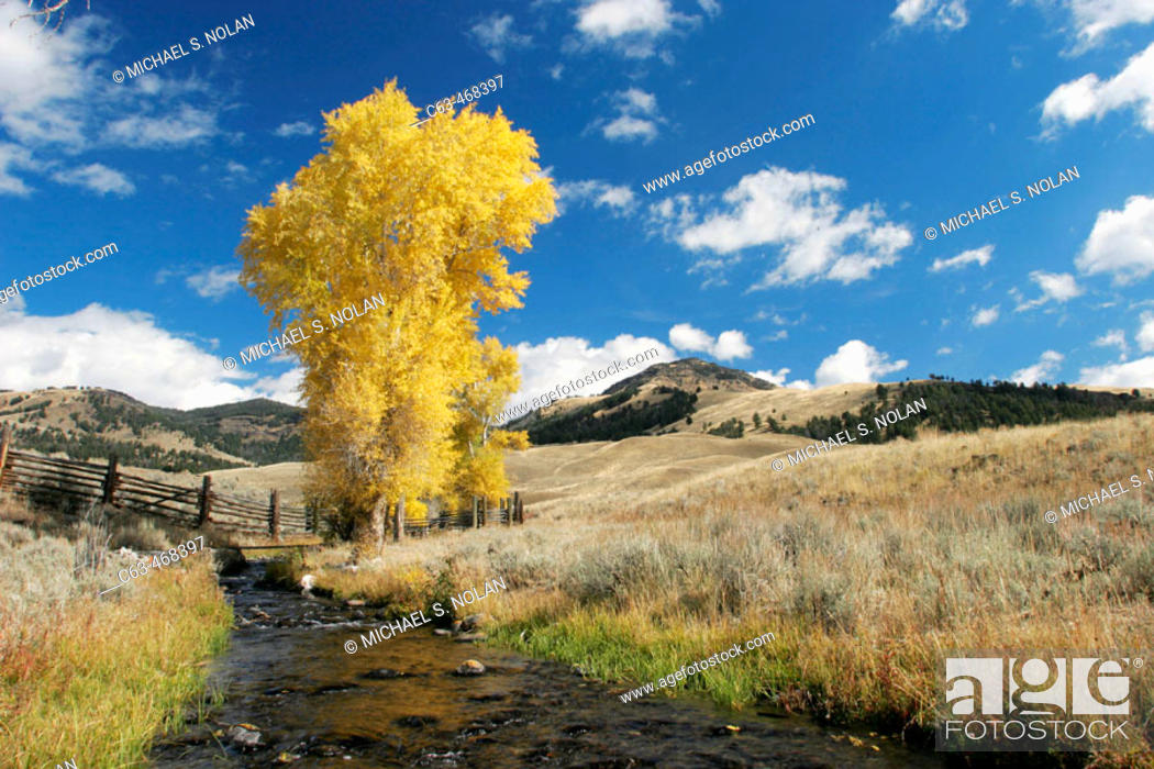 Stock Photo: Quaking Aspens in Yellowstone National Park, Wyoming, USA.