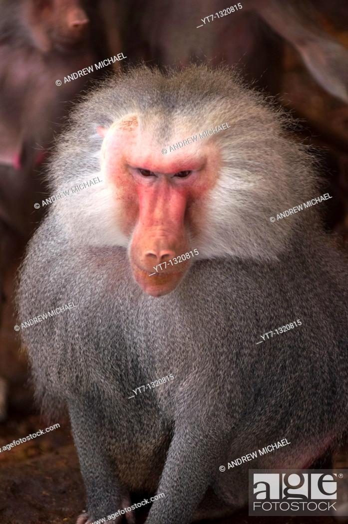 Stock Photo: Adult male Papio Hamadryas baboon.