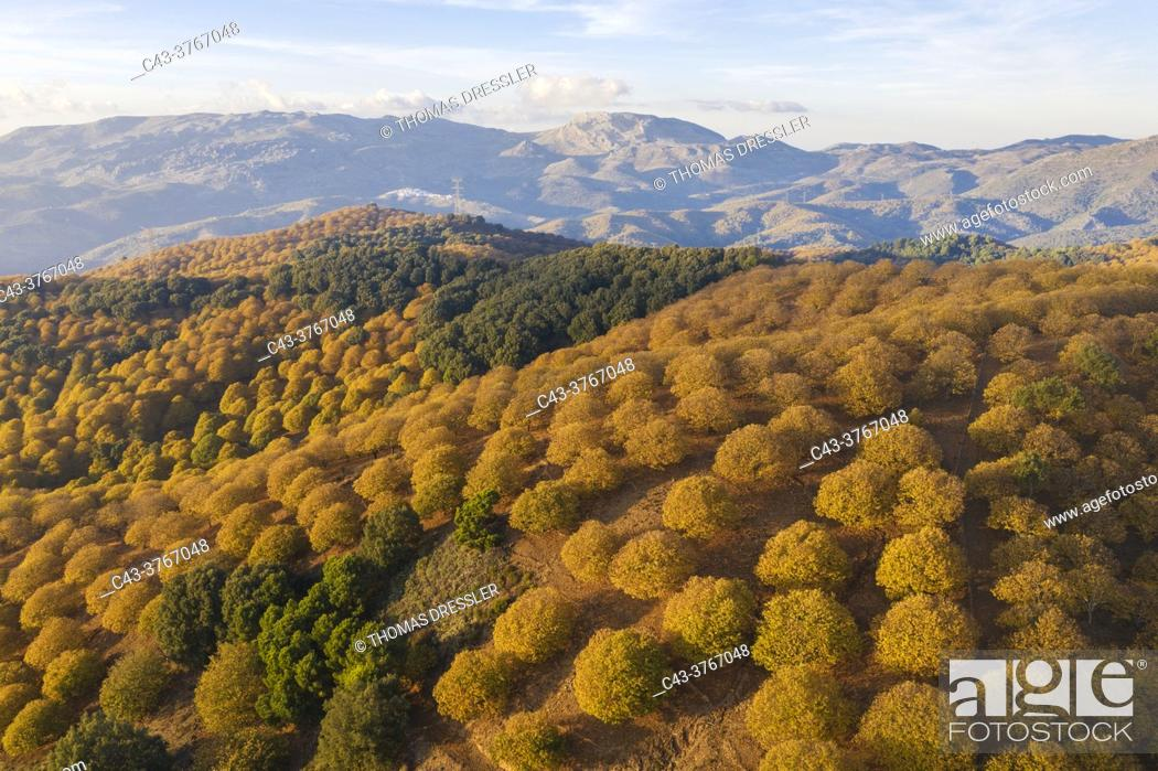 Stock Photo: Sweet chestnut trees (Castanea sativa) in autumnal colours in November. Aerial view. Drone shot. Serranía de Ronda, Málaga province, Andalusia, Spain.