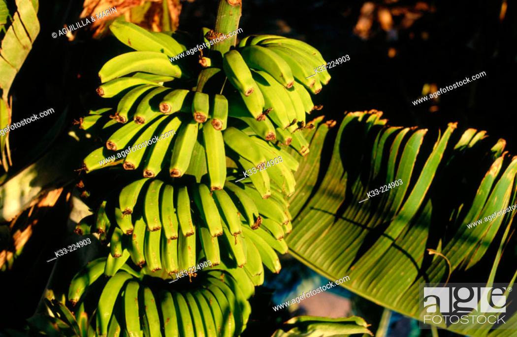 Stock Photo: Bananas. La Gomera Island. Canary Islands. Spain.