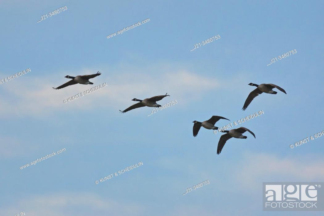 Stock Photo: A flock of Canada geese (Branta canadensis) is flying in V-formation through the blue sky. Västernorrland, Sweden, Europe.