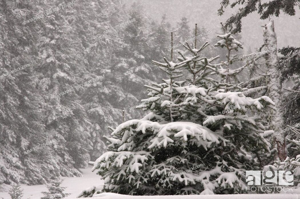 Stock Photo: Snow covered trees near Arachova. Kellaria, Parnassos, Arachova, Viotia, Central Greece, Europe.