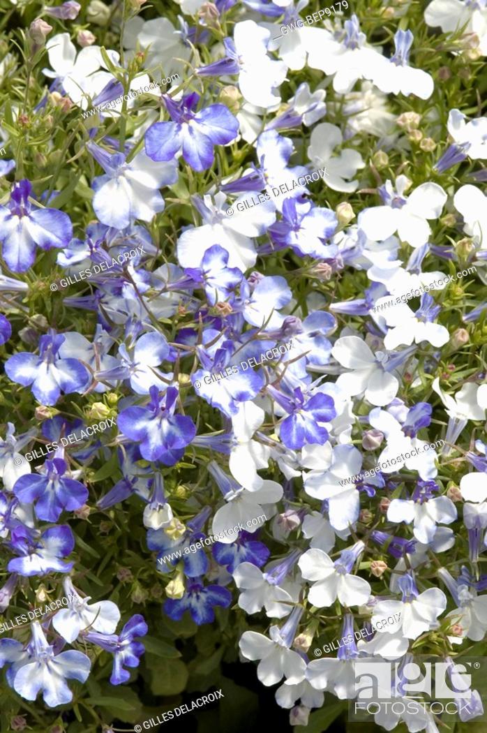 Lobelia Erinus Riviera Blue Splash Stock Photo Picture And Rights
