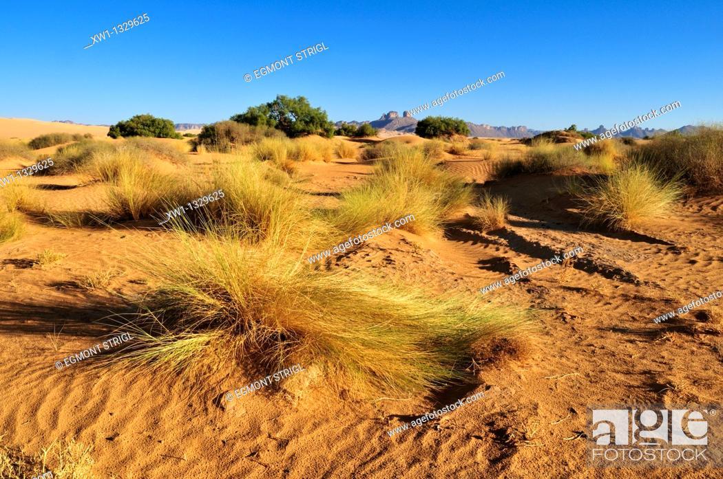 Stock Photo: vegetation on sanddunes at Erg Admer, Wilaya Illizi, Algeria, Sahara, North Africa.