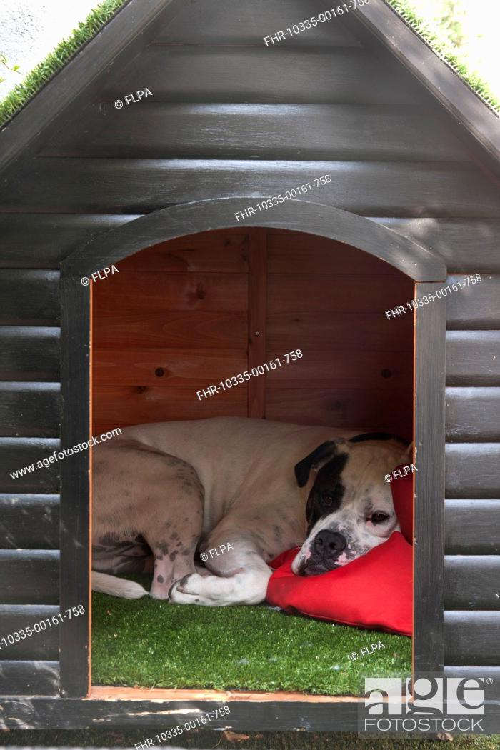 Stock Photo: Domestic Dog, Old Tyme Bulldog, resting in kennel, England, august.