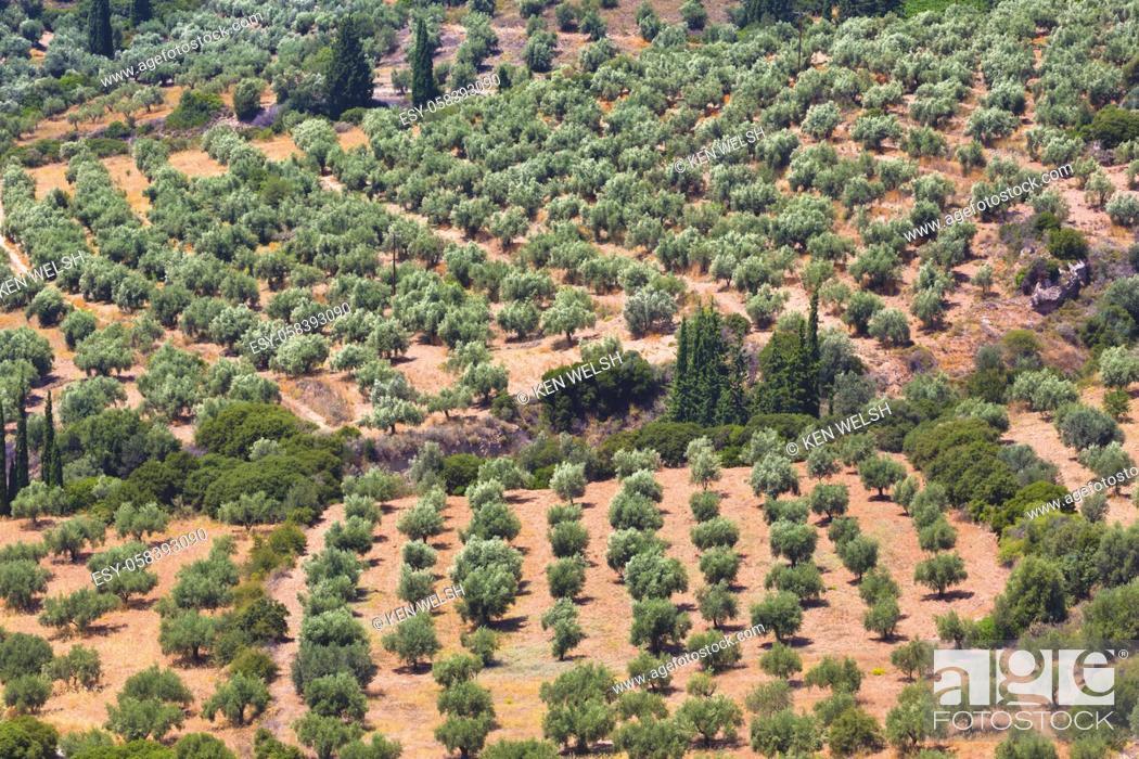 Stock Photo: Olive grove near Mycenae, Argolis, Peloponnese, Greece.