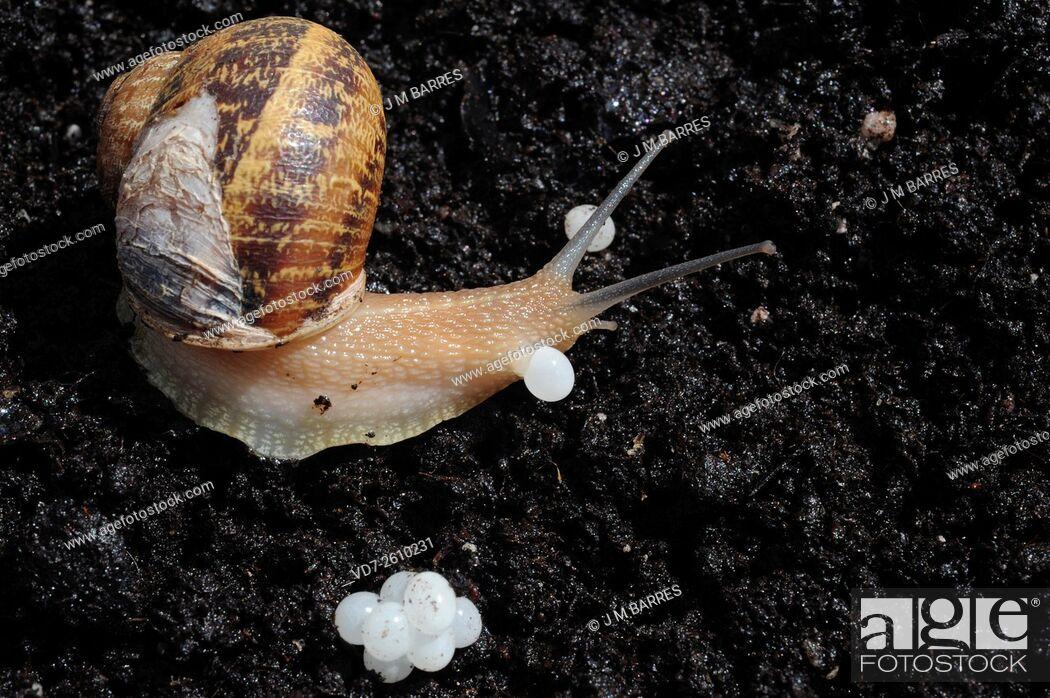 Imagen: Garden snail (Helix aspersa) laying eggs. Segria, Lleida, Lerida, Catalonia, Spain.