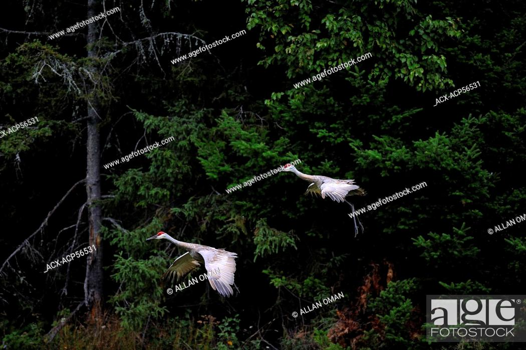 Stock Photo: Sandhill Cranes, Grus canadensis, Northern Ontario, Canada.