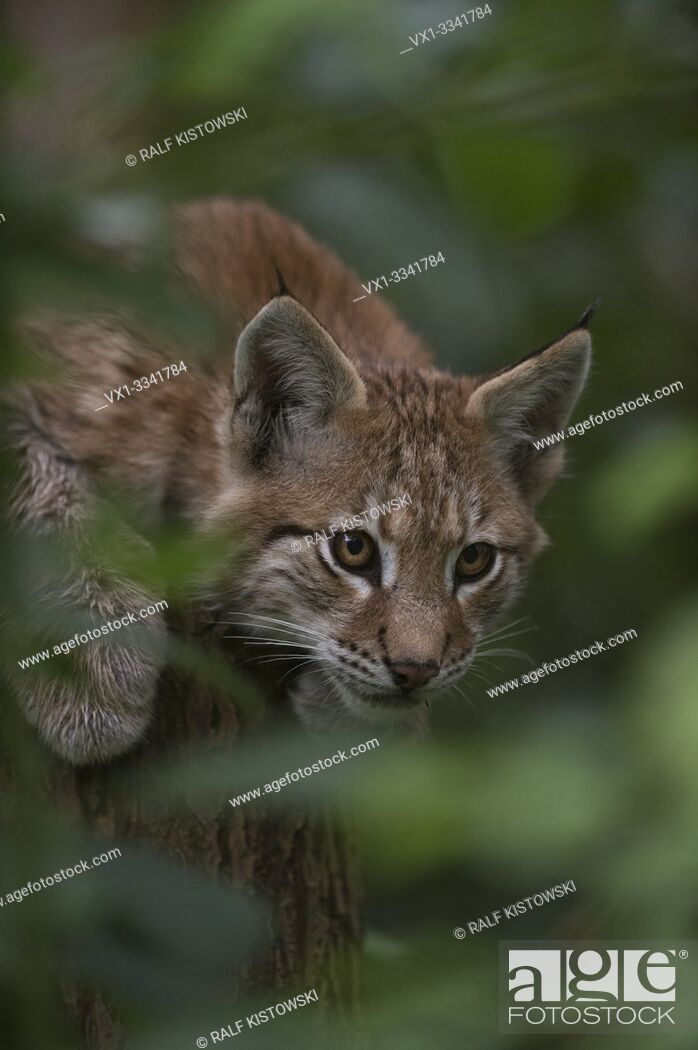 Stock Photo: Eurasian Lynx / Eurasischer Luchs ( Lynx lynx ), playful cute cub, hidden in a bush, watches secretly through green foliage. .