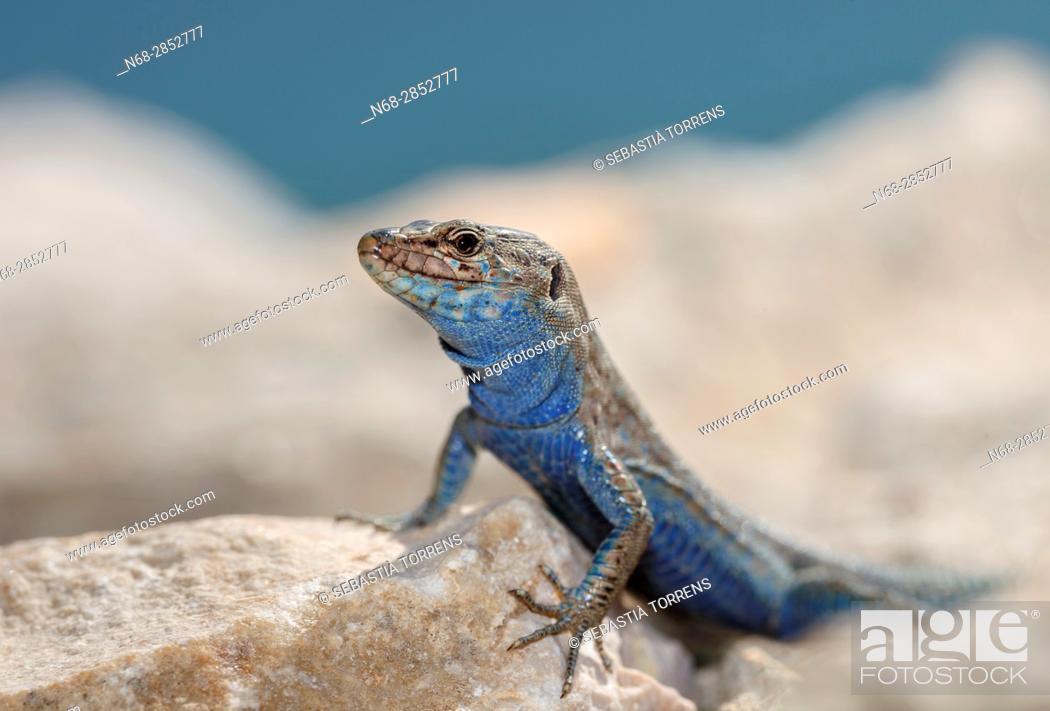 Stock Photo: Lizard (Podarcis lilfordi), Cabrera, Balearic islands, Spains.