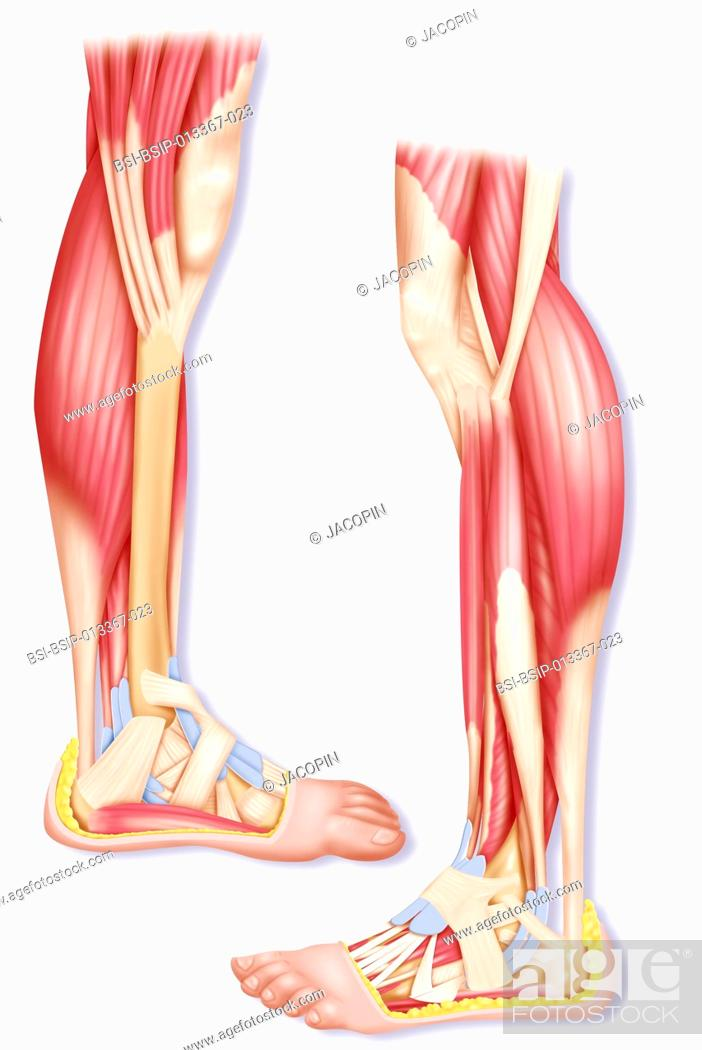 Illustration Of Leg Muscles Seen From The Inner Left And Outer Right