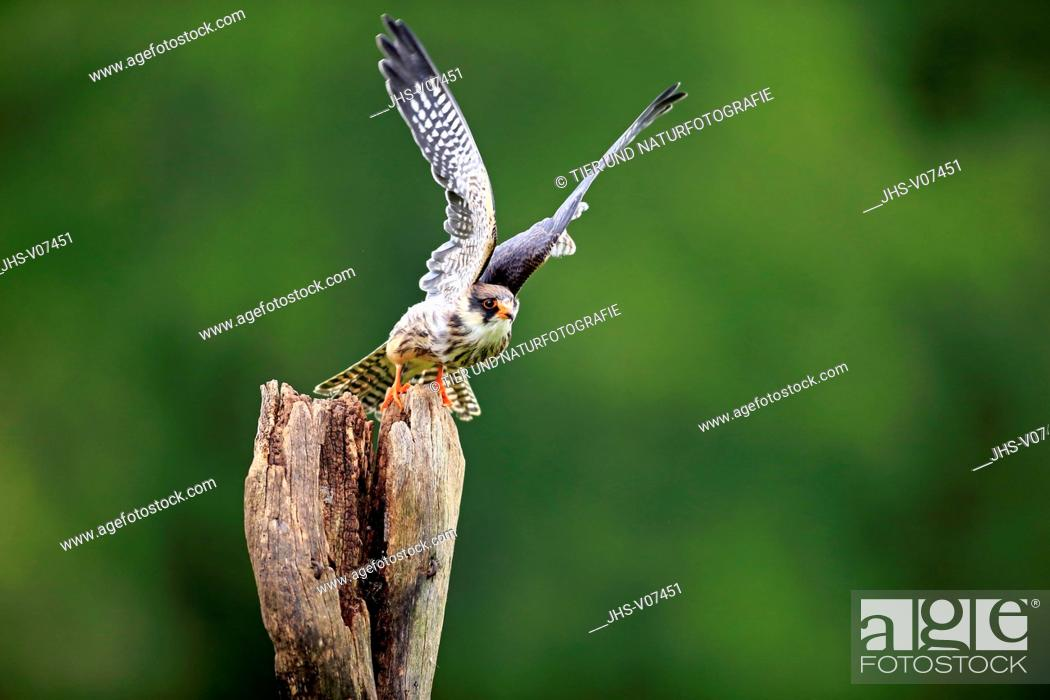 Stock Photo: Western Red Footed Falcon, (Falco vespertinus), adult starts flying, Eifel, Germany, Europe.