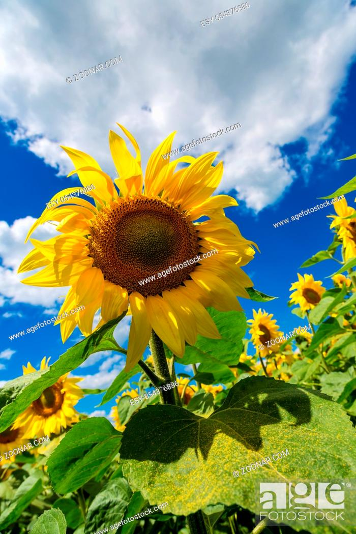 Stock Photo: Blooming field of sunflowers on blue sky.