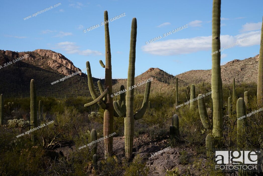 Stock Photo: Saguaro cactus, Carnegiea gigantea, grow in the Sonoran Desert, Tucson Mountain Park, Tucson, Arizona, USA.